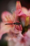 Dragonfly Photo Framed Prints - Dragonfly Serenity Framed Print by Mike Reid