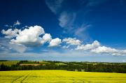 Canola Field Prints - Dramatic Cumulus Clouds Over Canola Print by John Sylvester