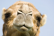 Dromedary Photos - Dromedary Camel by Power And Syred
