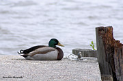 Gary  Taylor - Duck On Dock