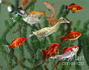 Baby Animal Photos - Duckling And Goldfish by Jane Burton