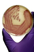 Colonies Prints - E. Coli Bacteria In A Petri Dish Print by Doncaster And Bassetlaw Hospitals