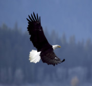 Alaskan Bald Eagle Acrylic Prints - Eagle in Flight Acrylic Print by Clarence Alford