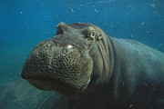 Hippopotamus Photo Posters - East African River Hippopotamus Poster by San Diego Zoo
