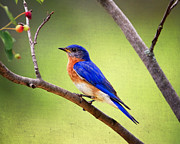 Perched Posters - Eastern Bluebird Poster by Al  Mueller