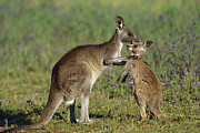 Embracing Posters - Eastern Grey Kangaroo Macropus Poster by Cyril Ruoso