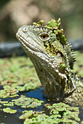 Water Dragon Prints - Eastern Water Dragon Sitting Submerged Print by Brooke Whatnall