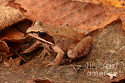 Eastern Wood Frog Print by Ted Kinsman