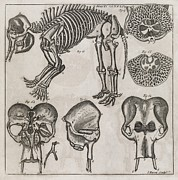 Transactions Framed Prints - Elephant Anatomy, 18th Century Framed Print by Middle Temple Library