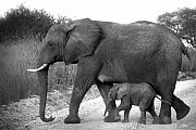 Mothers Posters - Elephant Walk Black and White  Poster by Joseph G Holland