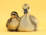 Mallard Ducklings Photos - Embden X Greylag Gosling And Mallard by Mark Taylor