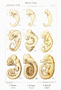 Evolutionary Biology Prints - Embryonic Development, Historical Artwork Print by Mehau Kulyk