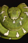 Coiled Prints - Emerald Tree Boa Corallus Caninus Print by Pete Oxford