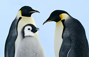 Bird At Sea Photos - Emperor Penguin Aptenodytes Forsteri by Jan Vermeer
