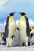 Mother Of Four Framed Prints - Emperor Penguin Aptenodytes Forsteri Framed Print by Konrad Wothe