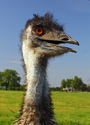 Jpeg Photo Prints - Emu Print by Robert Frederick