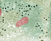 Animal Mitochondria Prints - Endoplasmic Reticulum Print by Omikron