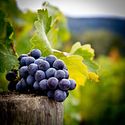 Vine Grapes Photo Posters - Entitled Poster by Ryan Hartson-Weddle