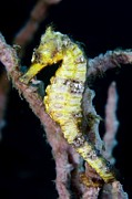 Hippocampus Prints - Estuarine Seahorse Print by Matthew Oldfield