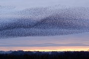 Fly In Posters - European Starling Flock Poster by Duncan Shaw