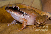 Eleutherodactylus Photos - Evergreen Robber Frog by Dante Fenolio