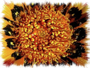 Yellow And Brown Posters - Explosion of Color Closeup with Framing Poster by Carol Groenen