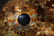 Dweller Prints - Eye Of Shorthorn Sculpin Print by Ted Kinsman