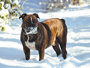 Dog Amateur Metal Prints - Face Full of snow Metal Print by Tommy  Urbans