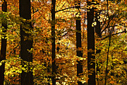 Sunlight Metal Prints - Fall forest Metal Print by Elena Elisseeva