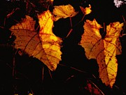 Yellow Leaves Posters - Fall Grapevine at nite Poster by Marsha Heiken