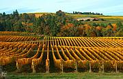 Vino Prints - Fall in a Vineyard Print by Margaret Hood