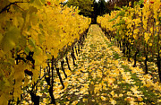 Jean Noren Framed Prints - Fall in the Vineyard Framed Print by Jean Noren