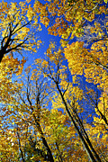 Golden October Posters - Fall maple trees Poster by Elena Elisseeva
