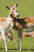 Dama Posters - Fallow Deer Poster by Power And Syred