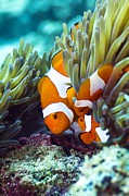 Clown Fish Photo Metal Prints - False Clown Anemonefish Metal Print by Georgette Douwma