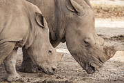 Rhinoceros Framed Prints - Family of rhino Framed Print by Anek Suwannaphoom