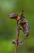 Featured Art - Fantastic Leaftail Gecko Madagascar by Piotr Naskrecki