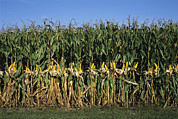 Corn Seeds Framed Prints - Feed Corn Is Husked While On The Stalk Framed Print by Paul Damien