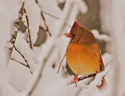 Cardinal In Snow Framed Prints - Female Cardinal  Framed Print by John Harding Photography