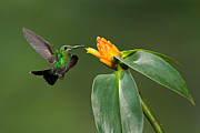 Canon 70-200 Posters - Female Green-crowned Brilliant Hummingbird Poster by Hali Sowle