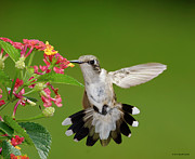 Hovering Prints - Female Hummingbird Print by DansPhotoArt on flickr