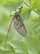 Mayfly Framed Prints - Female Mayfly Framed Print by Adrian Bicker