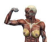 Body Builder Prints - Female Musculature Print by Friedrich Saurer