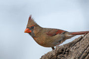 Female Northern Cardinal Framed Prints - Female Northern Cardinal Framed Print by Bonnie Barry
