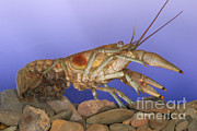 Crawfish Photos - Female Rusty Crayfish by Ted Kinsman