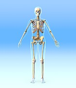 Frontal Bones Posters - Female Skeleton, Artwork Poster by Roger Harris