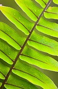 Macro Prints - Fern frond Print by Johan Larson
