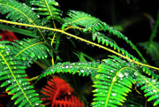 Puerto Rico Posters - Ferns and Raindrops Poster by Thomas R Fletcher