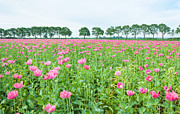 Spice Box Prints - Field full of pink poppies Print by Ruud Morijn