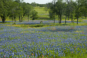 Bluebonnets Framed Prints - Field of Blue Framed Print by Robert Anschutz